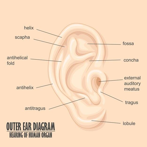 Of Human Ear Diagram Psd Explore Schematic Wiring Diagram