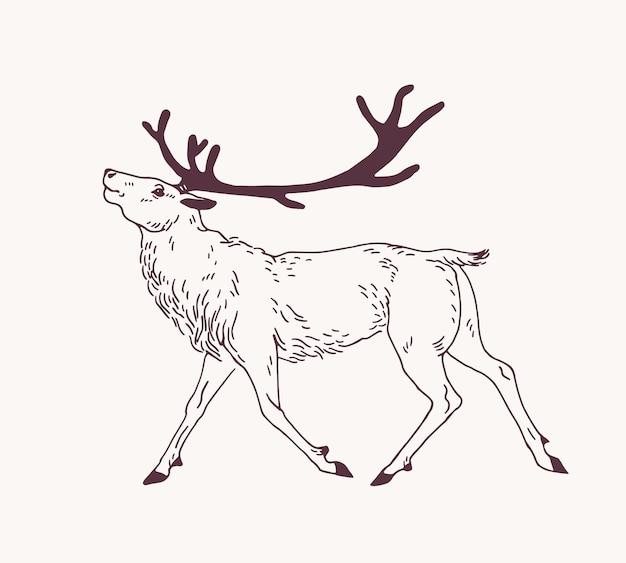 Outline drawing of walking male reindeer