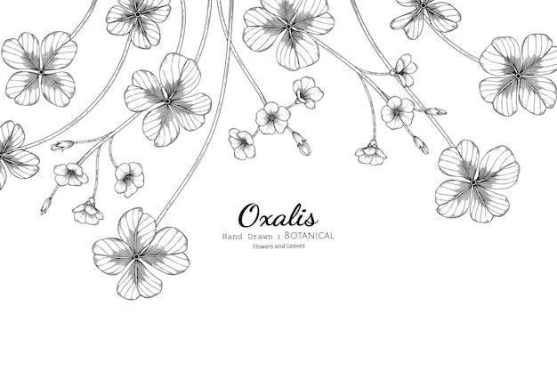 Цветок и лист оксалиса рисованной ботанические иллюстрации с линией искусства.