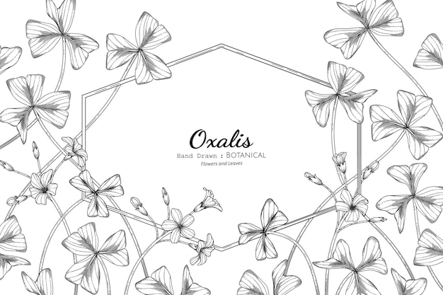 Oxalis flower and leaf hand drawn botanical illustration with line art.