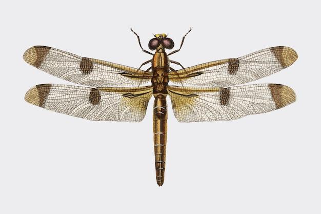 Окрашенный скиммер (libellula hersilia)