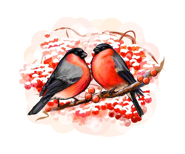 A pair of beautiful winter birds bullfinches on white background, hand drawn sketch.  illustration of paints