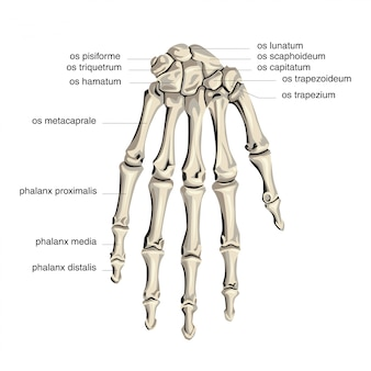 Palm bone anatomy