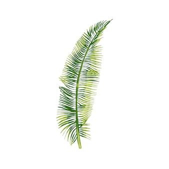 Пальмовый зеленый свежий кокосовый лист. винтаж вектор штриховки цвет рисованной иллюстрации, изолированные на белом фоне