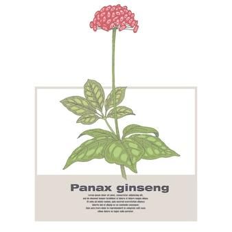 Иллюстрация лекарственных трав panax женьшеня.