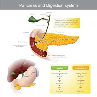 췌장 및 소화 시스템. 소화 효소는 췌장 관을 통과하여 십이지장의 음식과 혼합됩니다.
