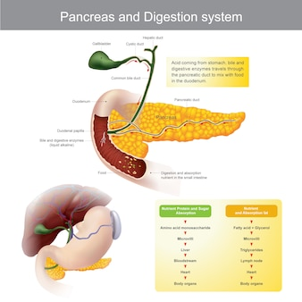 Pancreas and digestive system. the digestive enzymes travels through the pancreatic duct to mix with food in the duodenum.