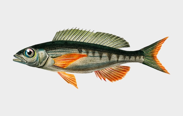 Pandoara fish (sparus erthrinus) illustrated by charles dessalines d'orbigny (1806-1876).