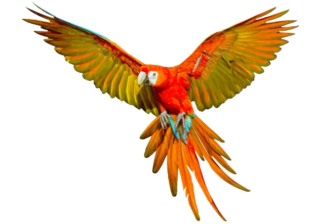 Parrot flying hand draw and paint on white.