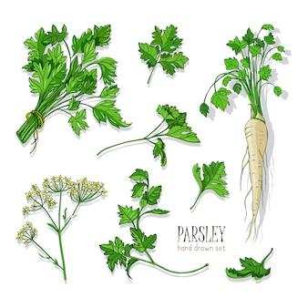 Набор петрушки. вручите оттянутую красочную коллекцию с зеленью, связкой, листом, корнем, цветком. иллюстрации.
