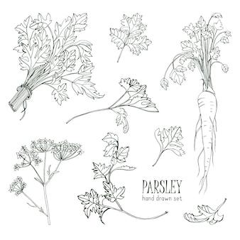 Набор петрушки. ручной обращается контур коллекции с зеленью, букет, листья, корень, цветок. иллюстрации.