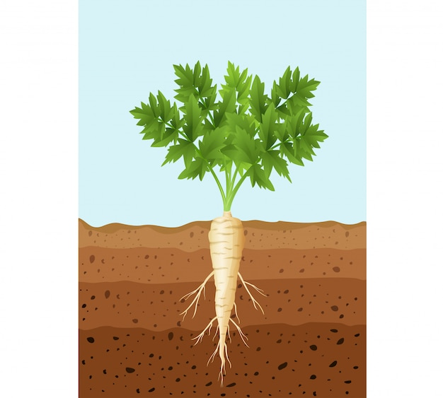 Parsnip tree plant with roots