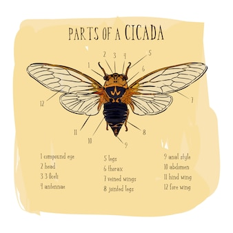 Part of cicada, hand draw sketch vector.