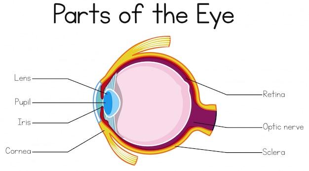 Part of human eye
