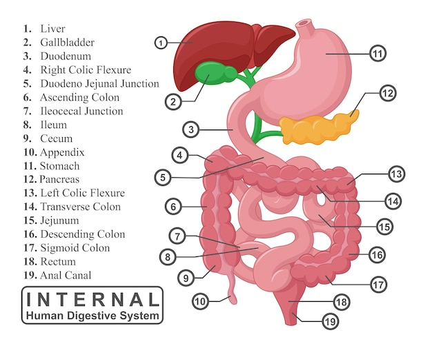 The part of internal human digestive system illustration