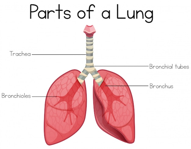 Parts of a lung on white background