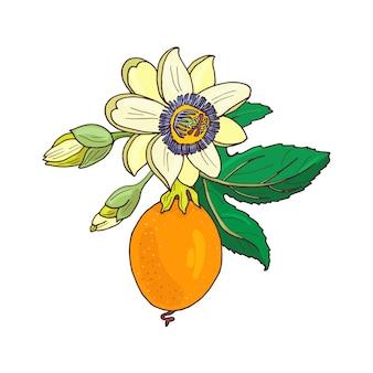 トケイソウトケイソウ、白い背景の上のパッションフルーツ。エキゾチックな花、つぼみ、葉。印刷繊維、布、包装紙の夏のイラスト。