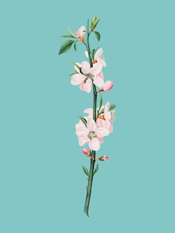 Peach flower from pomona italiana illustration