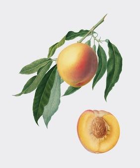 Peach from pomona italiana illustration