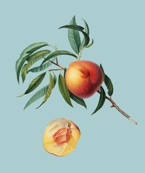 Peach from pomona italiana illustration