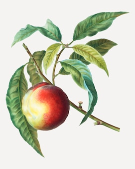 Peach fruit tree