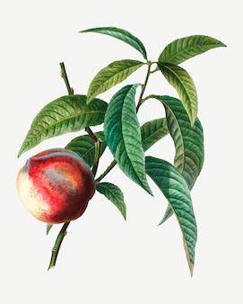 Peach fruit tree