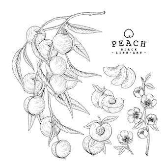 Peach fruits drawings.