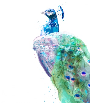 Peacock isolated watercolor. summer exotic birds decor
