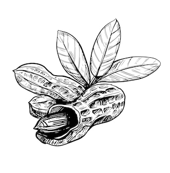 ピーナッツのイラスト。手描きスケッチ