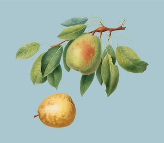 Pear from Pomona Italiana illustration