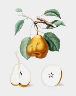 Груша из иллюстрации pomona italiana