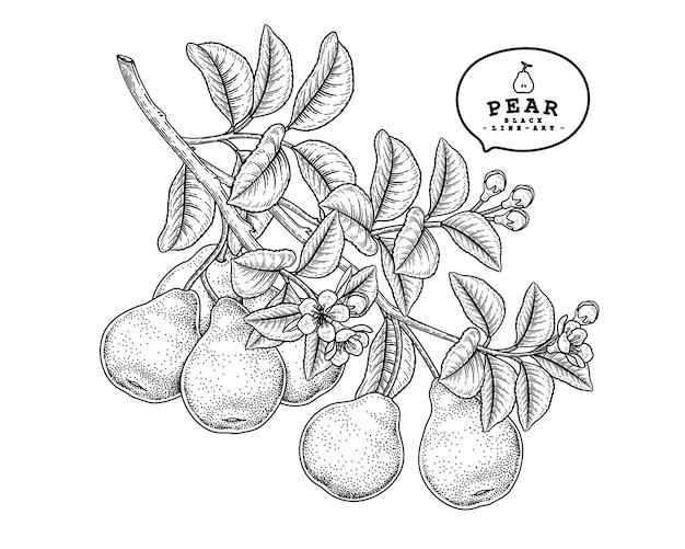 Pear fruit hand drawn botanical illustrations