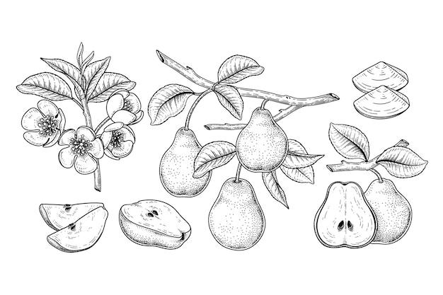 Pear fruits drawings.