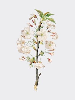 Pear tree flowers from Pomona Italiana illustration