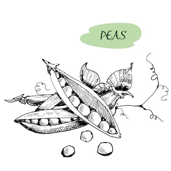 Peas are  in engraving style