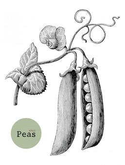 エンドウ豆支店手描きヴィンテージ彫刻イラスト