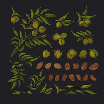 피칸 그래픽 세트. 녹색 나무, 텍스처 원시 견과류, 단풍. 식물 그림