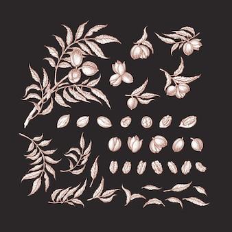 피칸 빈티지 세트. 손으로 그린 나뭇 가지, 견과류, 잎. 식물 그래픽 일러스트