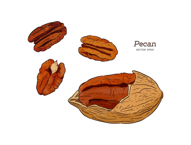 Pecans, hand draw sketch vector.