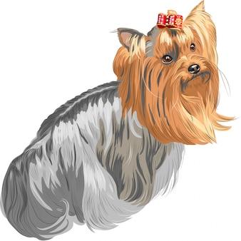 Породистая собака йоркширский терьер