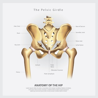 The pelvic girdle of human hip bone anatomy vector illustration