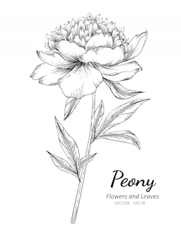 Peony flower drawing illustration with line art on white background