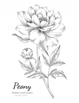 Peony flower drawing illustration with line art on white backgrounds.