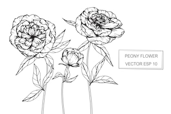 Peony flower drawing illustration