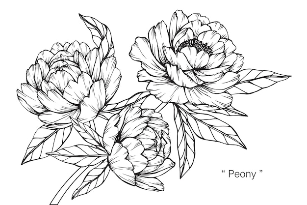 Пион цветок рисунок иллюстрации.