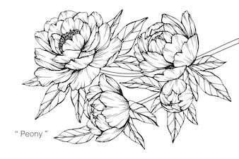 Peony flower drawing illustration.