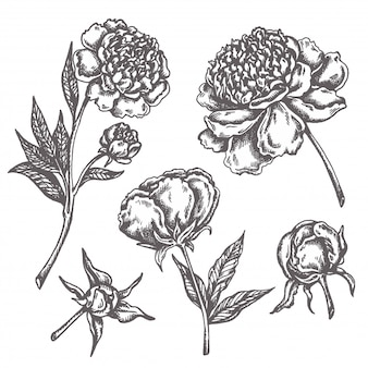 Peony flower drawing sketch floral botany collection hand drawn flowers isolated on white