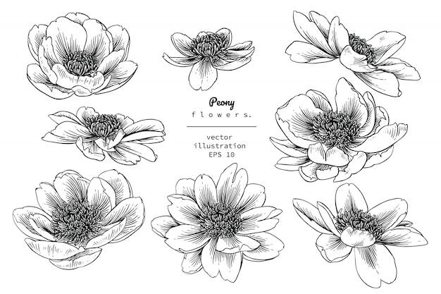 Peony flower drawings