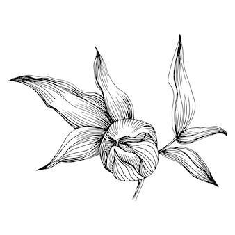 Пион цветок, гравюра старинные иллюстрации