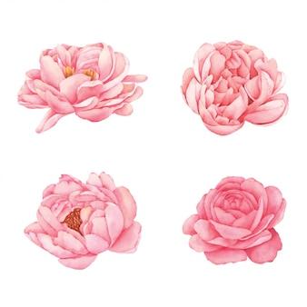 모란 꽃 손 그린 수채화